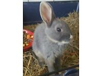 Baby rabbits ready now 8 weeks old 4 available