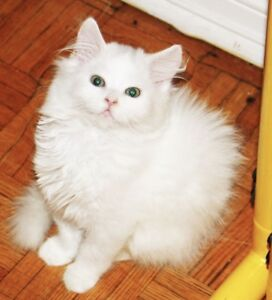 Tabby/Persian/Ragdoll kitten with Vet records!