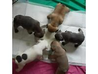 Beautiful litter of french bulldogs