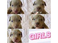 XL American Bully Tri Lilac Puppies