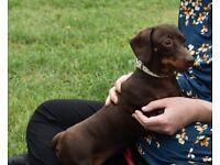 true miniature chocolate and tan dachshund girl