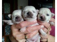 Beautiful Chihuahua pedigree puppies