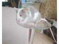 Pet/fancy mice for sale
