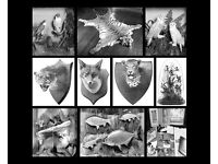 WANTED: ANTIQUE TAXIDERMY birds, mammals, fish, hunting trophies, heads, skins, natural history