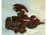 Toy Poodle Puppies KC Reg