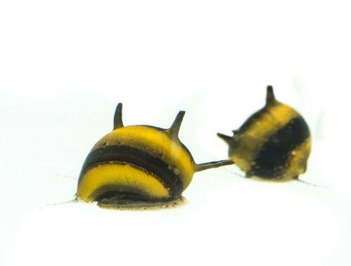 2+x+Yellow+Horned+Zebra+Nerite+snails%2C+Fresh+Water+Snail