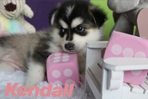 Pomsky Adopt Dogs Puppies Locally In Ontario Kijiji Classifieds