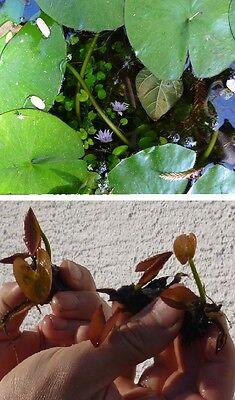 Bonsai blaue Seerose Schwimmpflanzen Pflanzen für den Gartenteich Teichpflanzen
