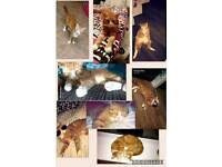 MISSING GINGER AND WHITE CAT MISSING LITTLE HULTON M38 AREA REWARD