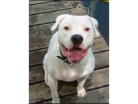 Dog American bulldog