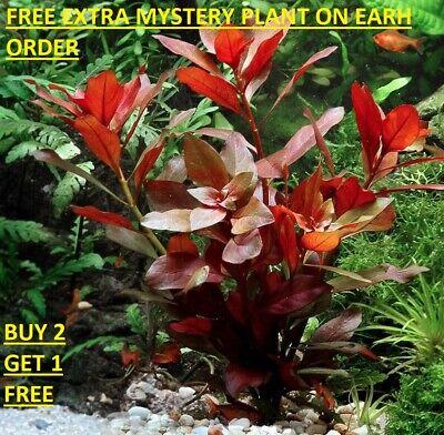 Ludwigia Repens Red Bunch Fresh Live Aquatic Plants Aquarium -
