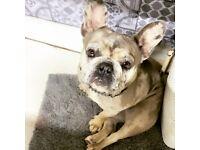 Female French Bulldog 1 Year Old Spayed