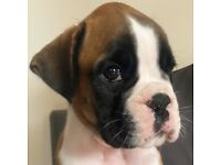 Kc Beautiful Red and Brindle Boxer puppies