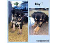 Pug x Jack Russell Puppies - Jug