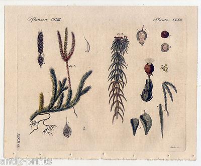 Moos-Moose-Bärlapp-Pflanzen-Torfmoos - Bertuch-Kupferstich 1810 Botanik
