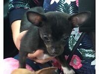 12 week old non KC reg full chihuahua
