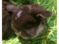 Wonderful Deep Rich Chocolate Mini Lop Litter