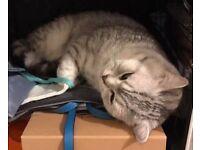 Adorable Pure British Shorthair Kittens
