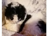 Adorable kc pedigree toy poodle babies