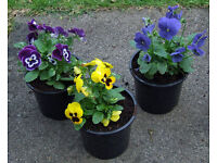 Winter Flowering Pansy's Assorted Colours 1Lt Pots
