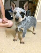 Blue Cattle Dog Puppy Raceview Ipswich City Preview