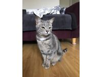 *MISSING CAT* tabby grey cat escaped in Meanwood please help!