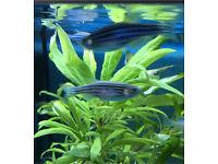 Three Zebra Danios tropical fish great condition