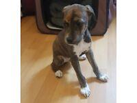 Lurcher x greyhound boy ready now for sale