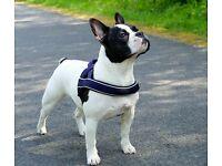 Female 3 1/2 year old French Bulldog