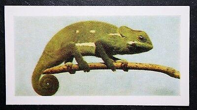 CHAMELEON     Vintage Colour Photo Card # VGC