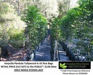 Harpullia Harpulia Pendula Tulipwood Trees Fast Growing  HS088