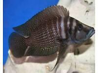 Calvus black f1
