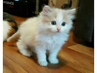 White fluffy long haired kitten.