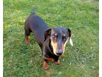 Missing Miniature Dachshund (Microchipped), Coalville, Leicestershire