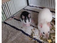 Baby Rats 2x Male (1 Dumbo/ 1 Fancy) 2 x Female (2 x Fancy)