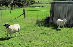 Dorper sheep  2 should be in lamb Collombatti Kempsey Area Preview