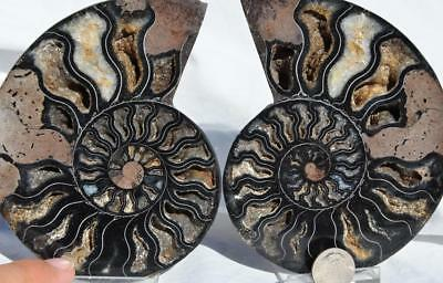 9619 RARE 1in100 BLACK Ammonite PAIR Deep Crystals 110myo FOSSIL LRG 119mm 4.7""