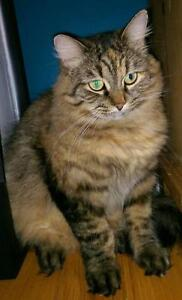 "Adult Female Cat - Domestic Long Hair: ""Bouboune"""