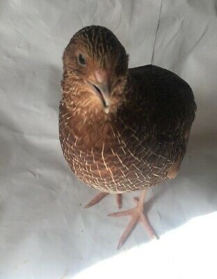 48 Pure Japanese Quail Coturnix Hatching Eggs Mixed Colours, Partridges/Pheasant