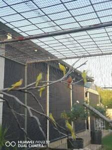 Yellow Turquorsine Parrots