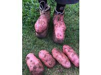 The super spud Blight resistant seed potato Sarpo Mira potatoes potatoe