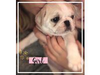 Female pug puppy