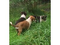 Beautiful Red & Tri coloured Welsh breed Collie Pups