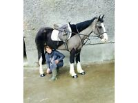 150cms 6yo cob mare very quiet