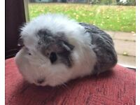Adorable Female guinea Pig ready for new home