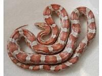 Male Candy Cane Corn Snake