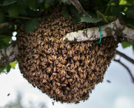 Honey Bee Swarms collected for free