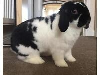 Male Mini Lop Looking For a New Home