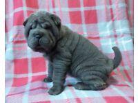 Shar Pei Pups KC Registered