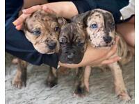 9 Weeks puppy Presa Canario x